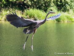great blue heron preparing to seize trout (Andrew Reding) Tags: ardeaherodias