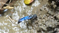 Unknown Wasp collecting mud from side of stream (gailhampshire) Tags: unknown wasp collecting mud from side stream