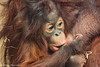 IMG_5293-1 (helensherratt1) Tags: animal babyanimal primates greatape orangutan borneanorangutan twycrosszoo