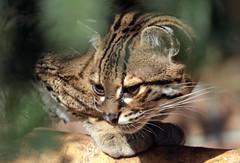 margay artis BB2A4072 (j.a.kok) Tags: margay kat cat mammal zoogdier artis animal dier predator southamerica zuidamerika margaycat feliswiedii