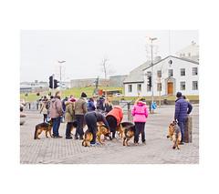 (haralduringolfsson) Tags: iceland reykjavik dogs schaefer