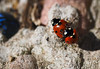 ladybirds-5260115 (E.........'s Diary) Tags: eddie ross olympus omd em5 mark ii spring 2018 lady bird insects mating