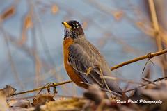 IMG_4085 (nitinpatel2) Tags: bird nature nitinpatel