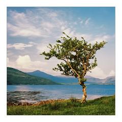 Hawthorn and Loch (gerainte1) Tags: hasselblad501 ektar100 film colour scotland mull lochbeg trees coast sea sky
