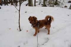 Laika (Hachimaki123) Tags: animal dog perro laika montseny parcnaturaldelmontseny santafe santafedelmontseny