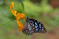 Tirumala limniace - the Broad Blue Tiger (female) (BugsAlive) Tags: butterfly mariposa papillon farfalla schmetterling бабочка conbướm ผีเสื้อ animal outdoor insects insect lepidoptera macro nature nymphalidae tirumalalimniace broadbluetiger danainae female wildlife doisutheppuinp chiangmai liveinsects thailand thailandbutterflies bugsalive ผีเสื้อลายเสือฟ้าแถบกว้าง