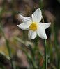 April Daffodil (ekaterina alexander) Tags: april daffodil flower spring narcissus nature photography pictures ekaterina alexander england sussex