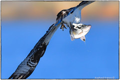 A fish out of water (RKop) Tags: d500 nikkor600f4evr 14xtciii raphaelkopanphotography newjersey springlake