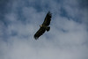 (Malena_c) Tags: buitre voltor vulture flying vuelo