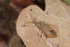 Rhombis Leatherbug - Syromastus rhombeus (Prank F) Tags: rspb thelodge sandy bedfordshireuk wildlife nature insect macro closeup bug squash rhombic leatherbug syromastusrhombeus