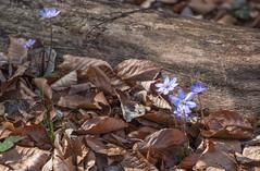 Frühling im Wald (Cornelia1989) Tags: canon70d tamron pflanzen isarradweg wald oberbayern lilablumen geretsried lila laub frühling baumstamm bayern natur blumen leberblümchen