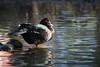 Duck (Cloudtail the Snow Leopard) Tags: ente duck vogel bird animal tier zoo stadtgarten karlsruhe