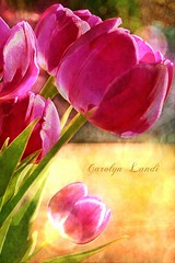 Spring Tulips (socalgal_64) Tags: carolynlandi texture nature colorful pennsylvania northamptonpa flowers natural purple pink bright blooms texturebyipiccy garden petals art