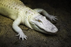 Beauval, Loir-et-Cher, France, 2017 (Photox0906) Tags: beauval centre europe france loiretcher zoodebeauval zoo albino alligator crocodile saurian weird rare dangerous captivity unique bizarre white zoological protected animal wild wildlife impressive