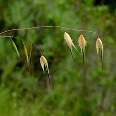 *Avena fatua, WILD OAT. (openspacer) Tags: avena jasperridgebiologicalpreserve jrbp nonnative oat poaceae