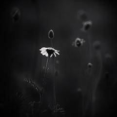 Iridiscent (una cierta mirada) Tags: flower iridiscente nature macro closer black bnw dark darkness spring flowers margarita