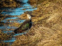 Peewit (ristoranta) Tags: canonpowershotsx60hs peewit northernlapwing vanellusvanellus töyhtöhyyppä lintu bird