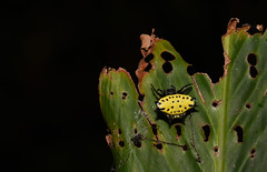 Spiny Orbweaver in Costa Rica (Bonnie Ott) Tags: costaricaspider orbweaver