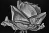 Rose (efgepe) Tags: 2018 april lightroom rose bw sw schwarzweiss schwarzundweiss blackwhite silverefexpro sigma sigma70mm sigma70mm28dgmacro nik makro macro