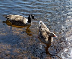 Greylag and Canada Geese (ERIK THE CAT Struggling to keep up) Tags: geese birds brocton cannockchase staffordshire pool ngc