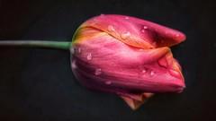 Bajo la lluvia (Marina Is) Tags: tulipán tulip emoeror red rojo orange naranja primavera coth coth5