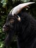 Billy Goat - Ziegenbock (minminatmidnight) Tags: animal animals tier tiere fujifilmfinepixs100fs ziege goat capra ziegenbock billygoat hegoat geisbock schwarz black portrait