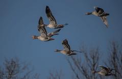 """Kampfgeschwader "" (wernerlohmanns) Tags: wildlife natur outdoor naturpark nabu nikond7200 sigma150600c schärfentiefe wasservögel gänsevögel graugänse"