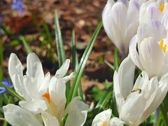 Crocus vernus (Iggy Y) Tags: crocusvernus crocus vernus winter blossom flower white color flowers