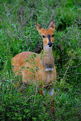 Бушбок, Tragelaphus scriptus, Bushbuck (Oleg Nomad) Tags: бушбок tragelaphusscriptus bushbuck африка танзания серенгети животные природа сафари africa tanzania serengeti nature animals safari travel