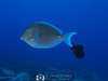 Blue Tang (R. Donald Winship Photography) Tags: aquaticlife bluetang cozumel divingunderwater pasodecedral