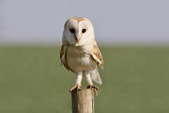 Barn Owl - Wild (Tyto alba) (Fly~catcher) Tags: tyto alba barn owl yorkshire wolds post grass sky