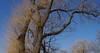 Wild willow (lindakowen) Tags: willow earthday trees earlyspring