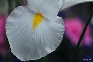 Meine einzige weiße Iris im Garten ...