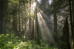 Morning Light (Bryan the Roving Vagabond) Tags: redwoods redwood nationalpark redwoodnationalpark california trees fog morning light sun rays longexposure wood forest tree mist grass trail norcal statepark landscape fern