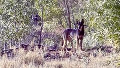 Day 4, Rare black dingo (Brian),1