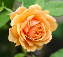 Rose (LuckyMeyer) Tags: flower fleur pastell garden orange apricot makro david austin summer blume blüte rose