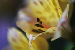 DSC_0322 Alstroemeria (PeaTJay) Tags: nikond750 sigma reading lowerearley berkshire macro micro closeups gardens indoors nature flora fauna plants flowers alstroemeria