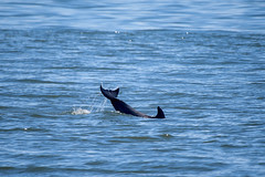 Dolphins_9089 (samfeinstein) Tags: nikon d750 200500 dolphin dolphins capemay capemaypoint breach tail