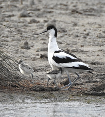 Avocet stands to allow chicks to run for cover. (dugwin2) Tags: avocet standing while two chicks seek cover from gull pennington marshes