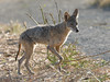 Coyote (photogism) Tags: coyote wildcat canyon