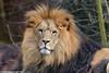 African Lion - Zoom Gelsenkirchen (Mandenno photography) Tags: animal animals african lion lions zoo zoom zoomgelsenkirchen gelsenkirchen ngc dierenpark dierentuin dieren duitsland germany