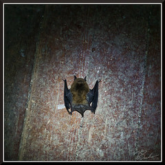 PrestonCastleBat_0100 (bjarne.winkler) Tags: one many bats that have their home the school industries preston castle ione ca