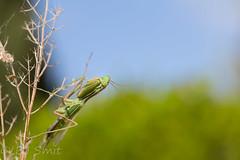 Sphodromantis viridis (BJSmit) Tags: policrysochous paphos cyprus viridis mantis sphodromantisviridis sphodromantis