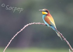 Abellarol (Merops apister) (socpep) Tags: natura ocells au aus birds pajaro abellarol merops wildlife nature ornitologia