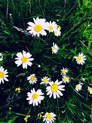 Wild flowers (Nueva 7) Tags: ontario newmarket camomile flowers