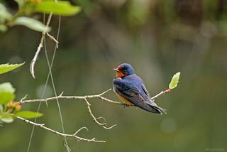 Barn Swallow - 094A8204b1c1