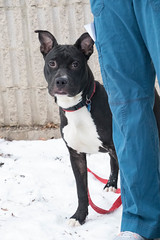 Ace (Pet Haven) Tags: americanpitbullterrier pitbull blackdog bloop animalhumanesociety ahs euthanasialist