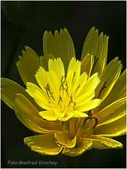 Distel (manfredkirschey) Tags: distel blüte natur nature