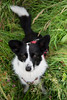Penny (MelissaW Dog Photography) Tags: penny corgi mix ruffwear webmaster dog cute sweet soft friend sunny spring flowers sun flower twiske nature nikon d5200 tamron 1750 28 nonvc happy pet red green animal grass field tree forest summer