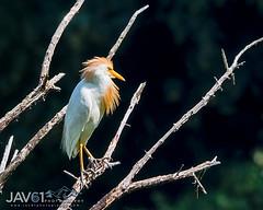Back from the barber shop-7698 (George Vittman) Tags: bird heron egret cattle cow water marsh lake nikonpassion wildlifephotography jav61photography jav61